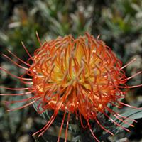Leucospermum Royal Hawaiin Blanch Ito