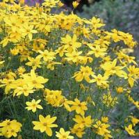 Coreopsis Golden Gain