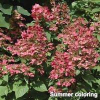 Hydrangea paniculata Fire And Ice