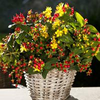Hypericum Harvest Festival Red