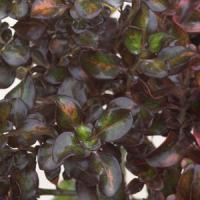 Coprosma Midnight Martini