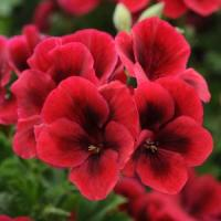 Candy Flowers Bright Red Regal Geranium