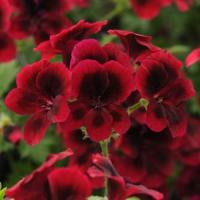 Candy Flowers Dark Red Regal Geranium