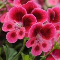 Candy Flowers Pink Eye Regal Geranium