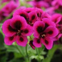 Candy Flowers Violet Regal Geranium