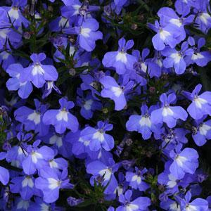 Hot Springs Sky Blue Lobelia