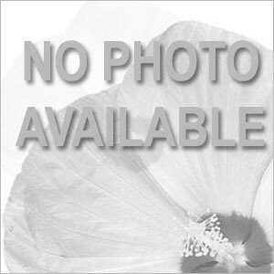AmeriHybrid® Roseform Peach Tuberous Begonia - Container