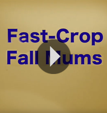 How To Fast-Crop Fall Mums