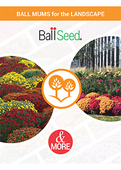 Ball Mums for the Landscape