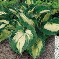 Hosta Sieboldiana Golden Meadows